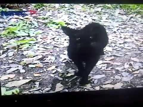 malu malu kucing mnc tv