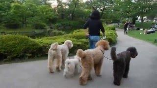 巨大プードルの集団お散歩(@_@;)