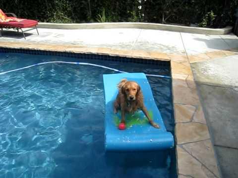 Charlie the swimming Golden Retriever