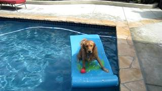 Charlie The Swimming Golden Retriever