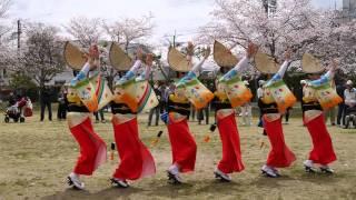 2016大仏連 兜台桜祭り 2 踊り後半