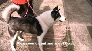 Oscar  The Handsome Siberian Husky Puppy Husky House Dec. 27, 2013