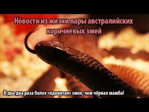 Пара коричневых змей и их попытка оставить потомство