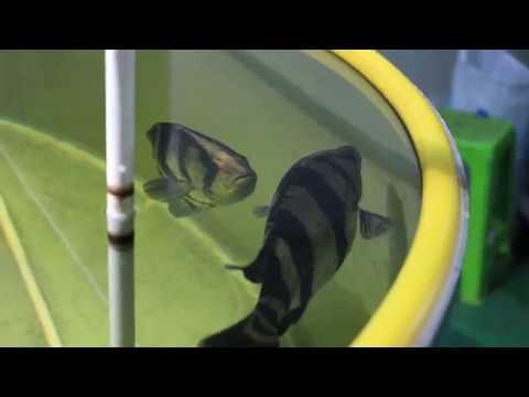 Siam Tiger Fish Pairing