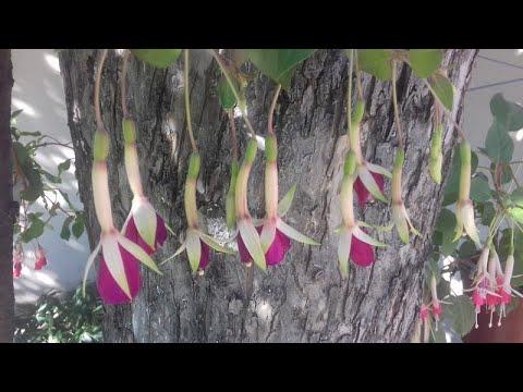 Фуксия… Цветок волшебных грез! Королева сказочного мира!