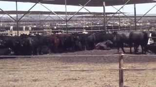 Harris Farms Feed Lot July 8th 2014