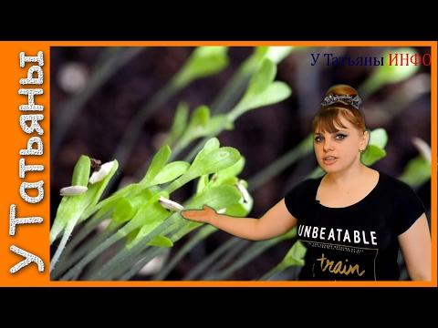 Выращивание цуккини, сорта кабачков цуккини чудо огород