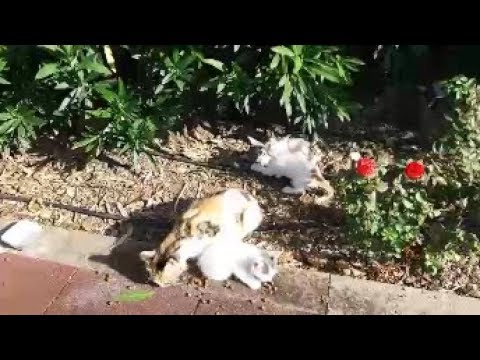 While mom cat eating food, kittens playing each other