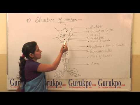 Ms  Neetu Pareek Structure of Neuron, BSc