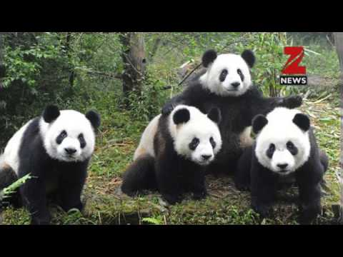 This is the reason why pandas are black and white