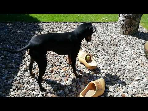 Chester the Manchester Terrier and the clogs