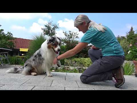 AMAZING DOG TRICKS By Australian Shepherd 'Clooney'