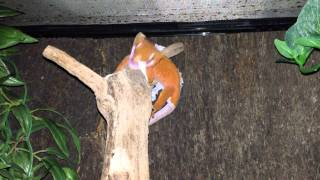 (red Dalmation) Crested Gecko Shedding.