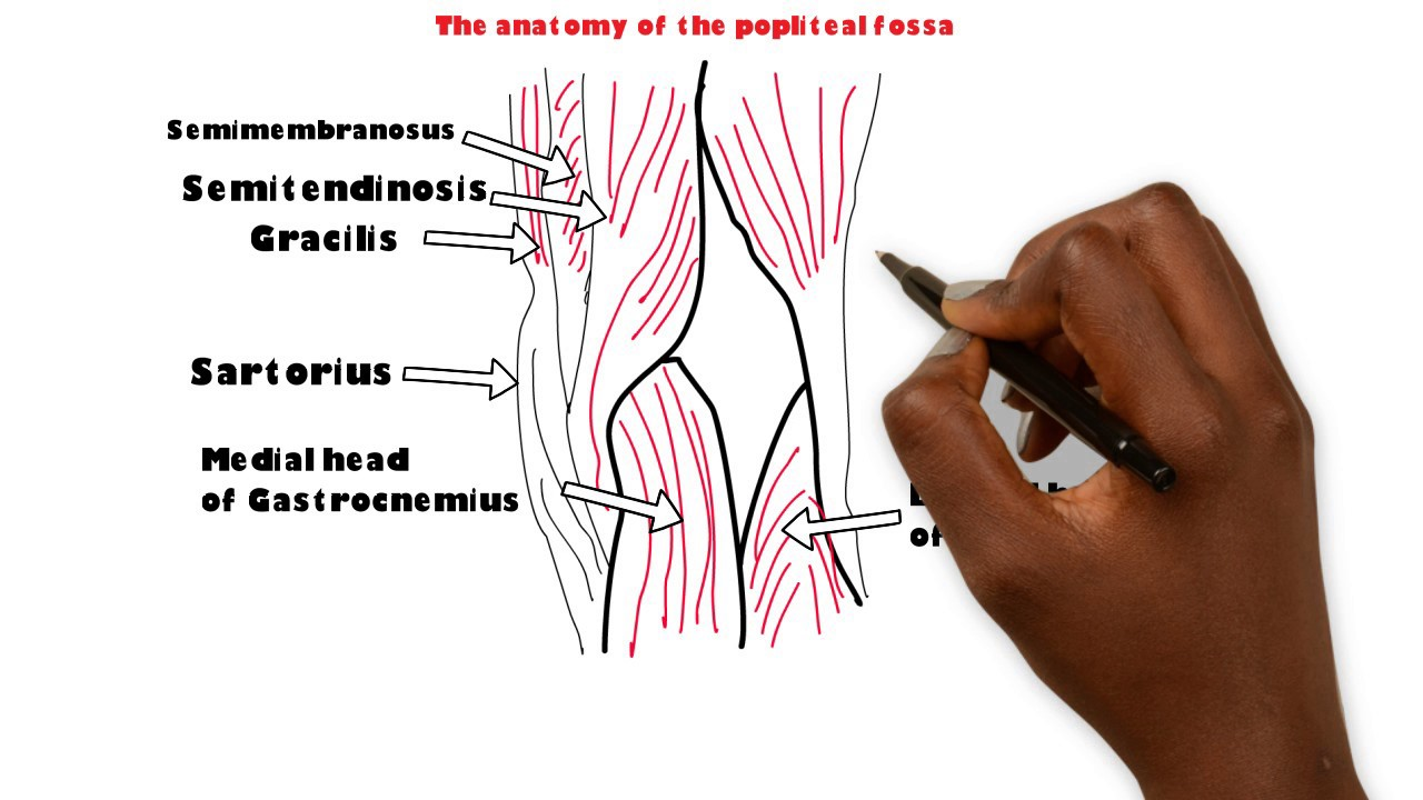 Basic Sciences Anatomy Of The Popliteal Fossa Youtube