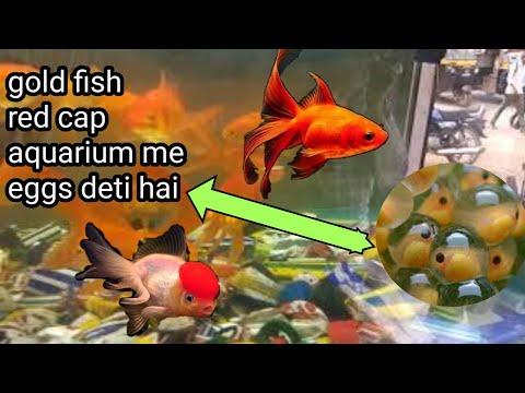 Your Goldfish Red Cap Aquarium Fresh Water Fish  Eggs