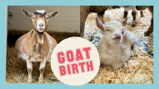 Mama Goat Gives Birth to FOUR Healthy Kids