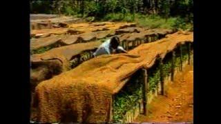 Tea Nursery Management – Sri Lanka