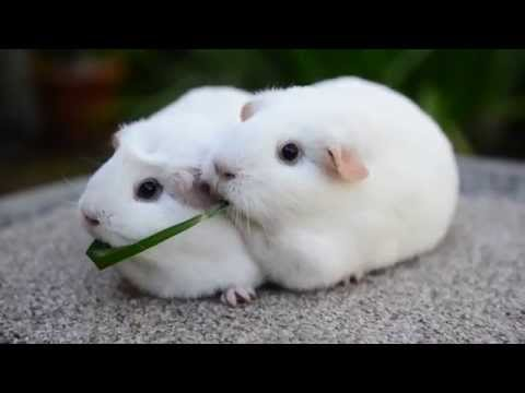 Guinea Pigs Eat Same Blade of Grass