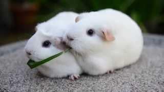 Guinea Pigs Eat Same Blade of Grass