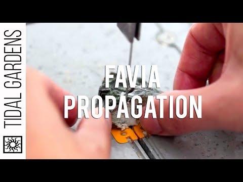 LPS Propagation - Favia Brain Coral