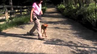Dog Training, Vizsla, Day 4: Teaching Sit, Wait At Yard Gate, Recall, Follow