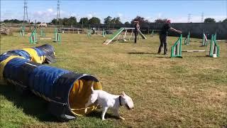 Magnus Miniature Bull Terrier Training  Naomi Read's Agility