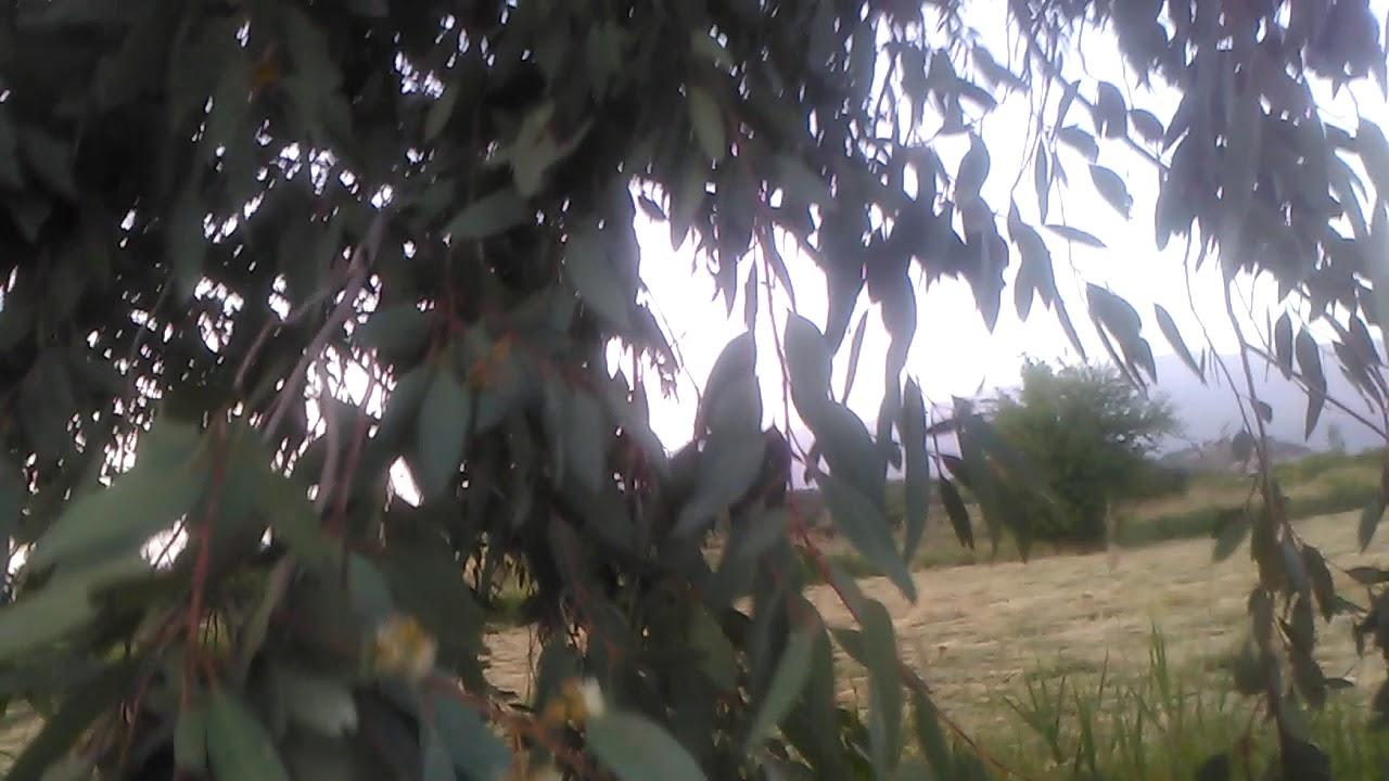 Okaliptüs bitkisi nerelerde yetişir faydaları nelerdir