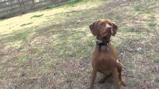 Dog Training, Piper, Vizsla: Training With A Kick Ball