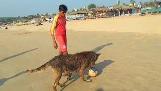 GOA Beach lives with crazy Dogs playing volleyball