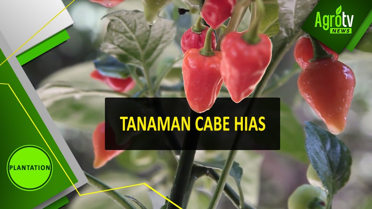 Tanaman Cabe Hias Youtube
