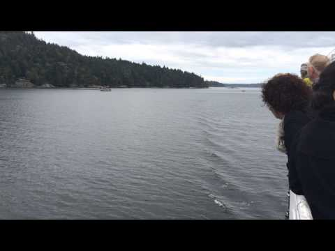Salt Spring Island - Orca Pod in Fulford Harbour from the Ferry