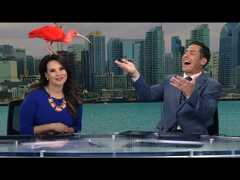 Pink Bird Lands on Anchor's Head During Live Broadcast