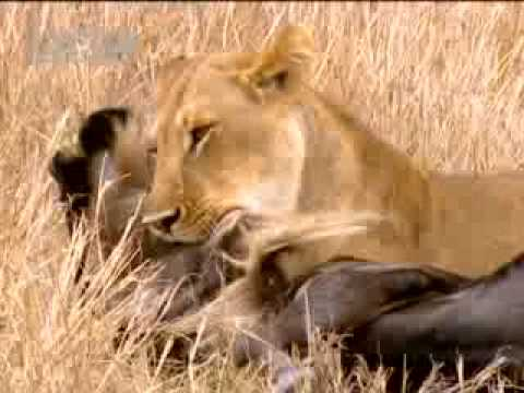 Lion vs wildebeest - BBC wildlife