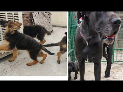 Longcoat German Shepherd Puppy   Great Dane Puppy For Sale   Bull Mastiff Puppy   Saint Bernard