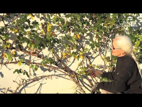 Rose Pruning With Lynn Hillman