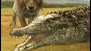 Сафари парк «Тайган», Крым. Львы напали на крокодилов