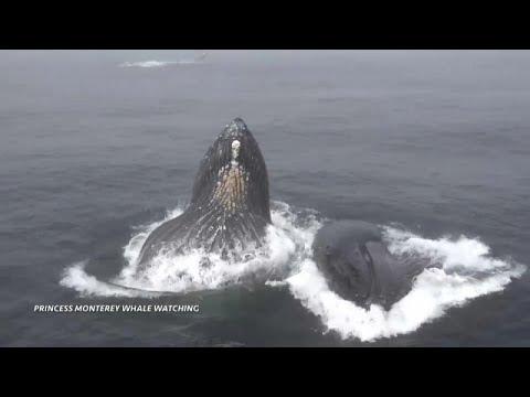 شاهد : زوج من الحيتان الحدباء يتناول الطعام في كاليفورنيا…  - نشر قبل 3 ساعة