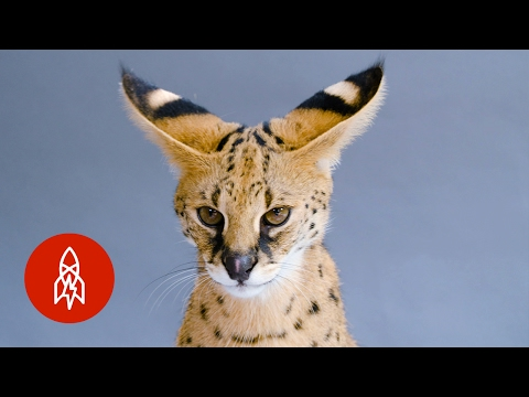 "This ""Giraffe Cat"" Faces an Uncertain Future"