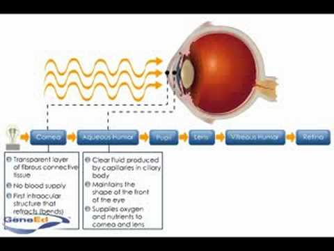 Physiology of the Cornea - YouTube