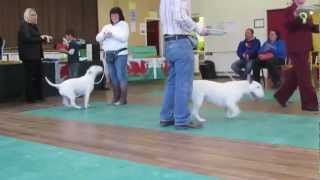 Bull Terrier Club Of Wales Open Show 25 /11/12