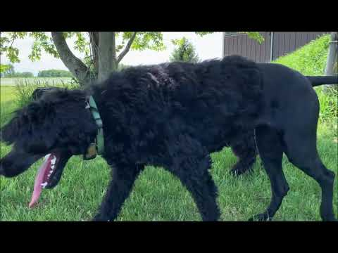PuppyFinder.com : Portuguese Water Dogs Playing 11 Weeks Old