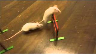 Chaotic Mouse Agility Training