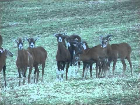 Mufloni - Videolovy - Life in nature
