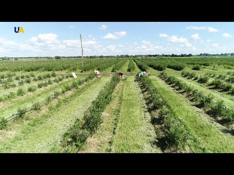 Вопрос: Какие сорта голубики самые урожайные и неприхотливые?