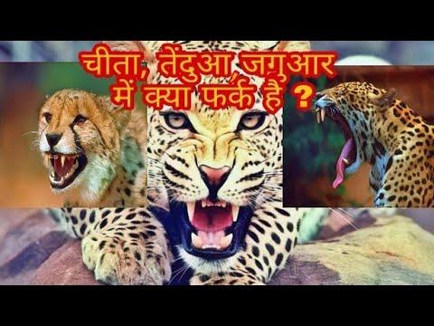 देखे चीता, तेंदुआ और जगुआर में क्या फर्क है ?