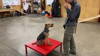 """Airedale Terrier Puppy """"Bo"""" 5 1/2 Mo's Friendly Happy Fun Obedience Trained Super Star For Sale"""