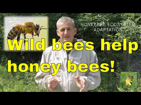 Wild British bees could save the European Honey bee!