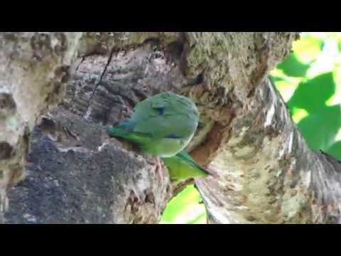 Ближний - Эндемичный - Очковый попугай - Forpus conspicillatus - веселый попугай