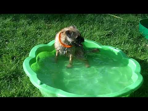 Border Terrier puppy Nala loving the paddling pools.