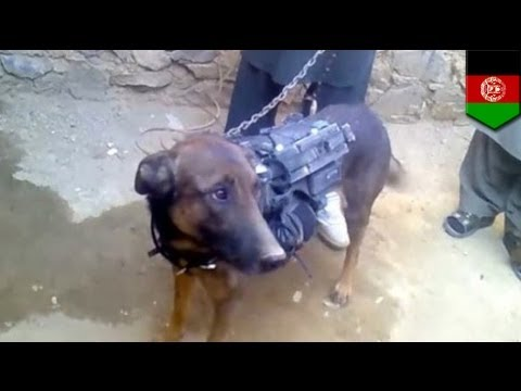 Taliban show off captured military dog in Afghanistan